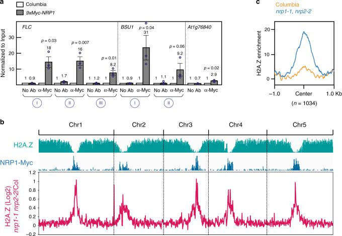 Genome-wide localization of NRP1. a Quantification of 9xMyc-NRP1 binding to FLC and BSU1 occupancy levels in Columbia (WT) and nrp1-1 nrp2-2 double mutant. Error bars represent standard error from three biological replicates. Two-tailed, paired Student's t test was used to determine p -value. At1g76840 , which has almost no reads in ChIP-Seq analysis, is shown as a control. b Genome-wide distribution of H2A.Z in wild-type (turquoise) and NRP1-9xMyc in wild-type (blue). In both cases, peaks were defined using Narrow Peaks. The magenta line represents differential H2A.Z occupancy between nrp1-1 nrp2-2 and Columbia. c H2A.Z occupancy levels in Columbia (WT) and nrp1-1 nrp2-2 double mutant background plotted over highly significant, likelihood ratio > 1000, NRP1-9xmyc ChIP-Seq peaks. Source data underlying Fig. 4a, b are provided as a Source Data file.
