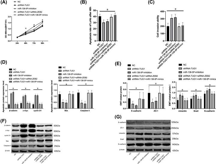 Promotion of TUG1 on the development and metastasis of CRC by inhibiting the miR-138-5p/ZEB2 molecular axis in in vitro experiments ( A ) Proliferation of LoVo cells. ( B ) Apoptosis of LoVo cells. ( C ) Invasion of LoVo cells. ( D ) Apoptosis-related proteins in the cytoplasm o LoVo cells. ( E ) EMT-related proteins in the cytoplasm of LoVo cells. ( F ) Wb map of apoptosis-related protein. ( G ) Wb map of EMT-related proteins.