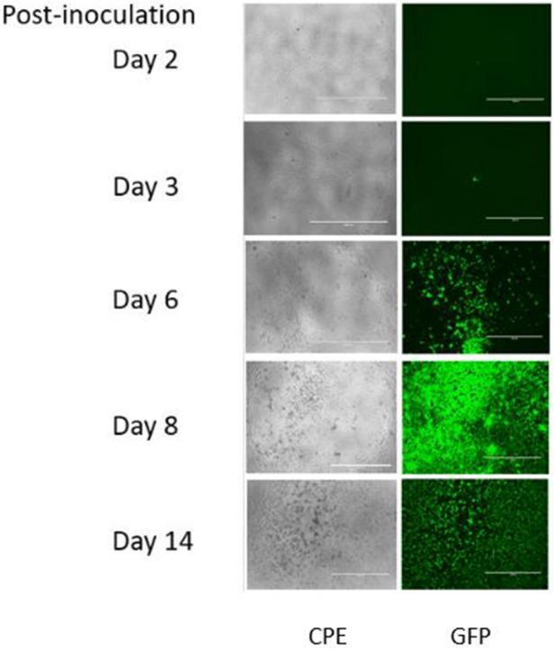 Appearance of viral CPE or GFP in Vero E6 cells 2–14 days post-inoculation with EBOV/Mak.