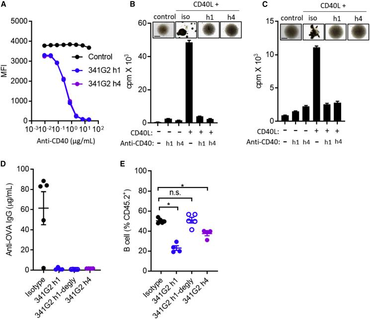 341G2 hIgG1 (h1) and hIgG4 (h4) Suppress Immune Function In Vitro and In Vivo (A) Ramos cells were incubated with fixed concentration of CD40L and various concentrations of anti-CD40 mAbs. Remaining bound CD40L was detected by anti-FLAG-APC. Means ± SEM, n = 3, data representative of three experiments. (B) Purified hCD40Tg mouse splenic B cells were incubated with 2 μg/mL CD40L in the presence or absence of 5 μg/mL 341G2 h1 and h4 for 2 days. Cell culture images were taken on day 2. Proliferation was measured by 3 H-thymidine incorporation. Means ± SEM, n = 5, data representative of three experiments. Scale bar, 0.5 mm. (C) Purified human B cells were incubated with 2 μg/mL CD40L in the presence or absence of 5 μg/mL 341G2 h1 or h4 for 2 days. Cell culture images were taken on day 2. Proliferation was measured by 3 H-thymidine incorporation. Means ± SEM, n = 3–5, data representative of three donors. Scale bar, 0.5 mm. (D) hCD40Tg mice received 500 μg OVA and 100 μg anti-CD40 mAbs on day 0 and another dose of 100 μg anti-CD40 mAbs on day 3. Mice were bled on day 18 and serum levels of anti-OVA IgG were quantified by ELISA as described in the STAR Methods . Means ± SEM, n = 4–5, data representative of two experiments. Each dot represents one mouse. (E) Mice received the same treatment as in (D). The level of circulating CD19 + B cells in blood on day 2 was quantified by anti-mouse CD19-APC and expressed as the percentage of CD45.2 + cells. Means ± SEM, n = 4–5, data representative of two experiments. Each dot represents one mouse. Two-tailed, non-paired Student's t test, ∗ p