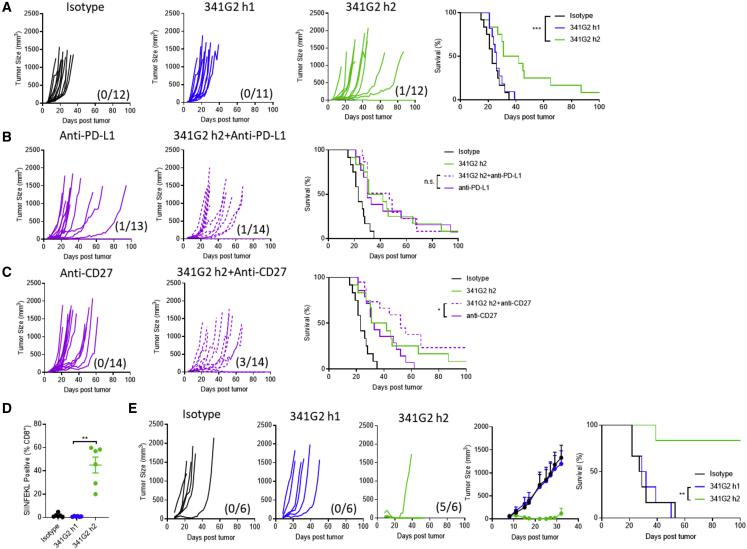341G2 h2 Exhibits Antitumor Efficacy and Potentiates Adoptive T Cell Therapy (A) hCD40Tg mice were inoculated with 5 × 10 5 MC38 tumor cells subcutaneously. On day 6, when the tumor became palpable, mice were treated with 30 μg anti-CD40 mAbs and again 3 days later. Tumor size and survival were assessed, n = 11–14, data pooled from two experiments. The fractions in parentheses indicate the number of tumor-free mice (numerator) out of the total number of mice (denominator) in that group at the end of the study. Survival curves were compared by log rank test. ∗ p