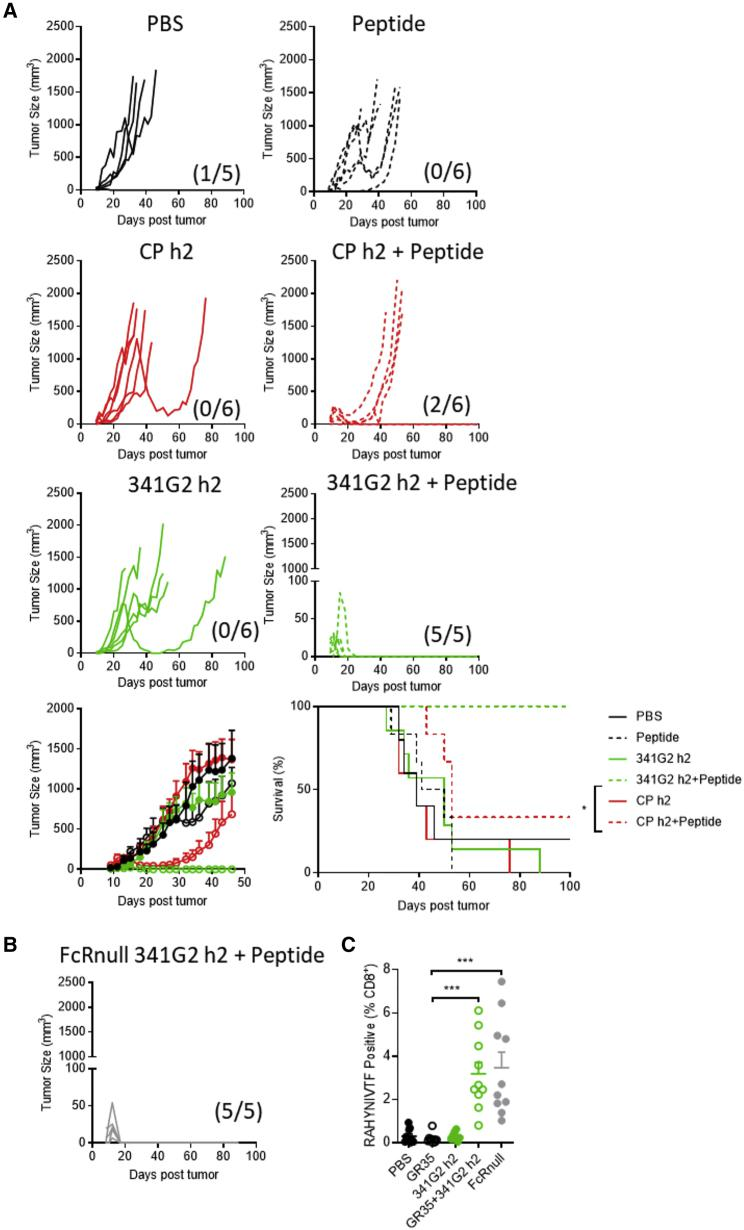 341G2 h2 Exhibits Antitumor Efficacy in Combination with Peptide Vaccine (A) hCD40Tg mice were inoculated with 1 × 10 5 TC1 tumor cells subcutaneously on day 0 and then were treated with 150 μg peptide in combination with 30 μg anti-CD40 on day 5, or treated with 30 μg anti-CD40 alone on days 5, 8, and 11. Tumor size and survival were assessed, Means ± SEM, n = 5–6, data representative of at least two experiments. The fractions in parentheses indicate the number of tumor-free mice (numerator) out of total number of mice (denominator) in that group at the end of the study. Survival curves were compared by log rank test. ∗ p
