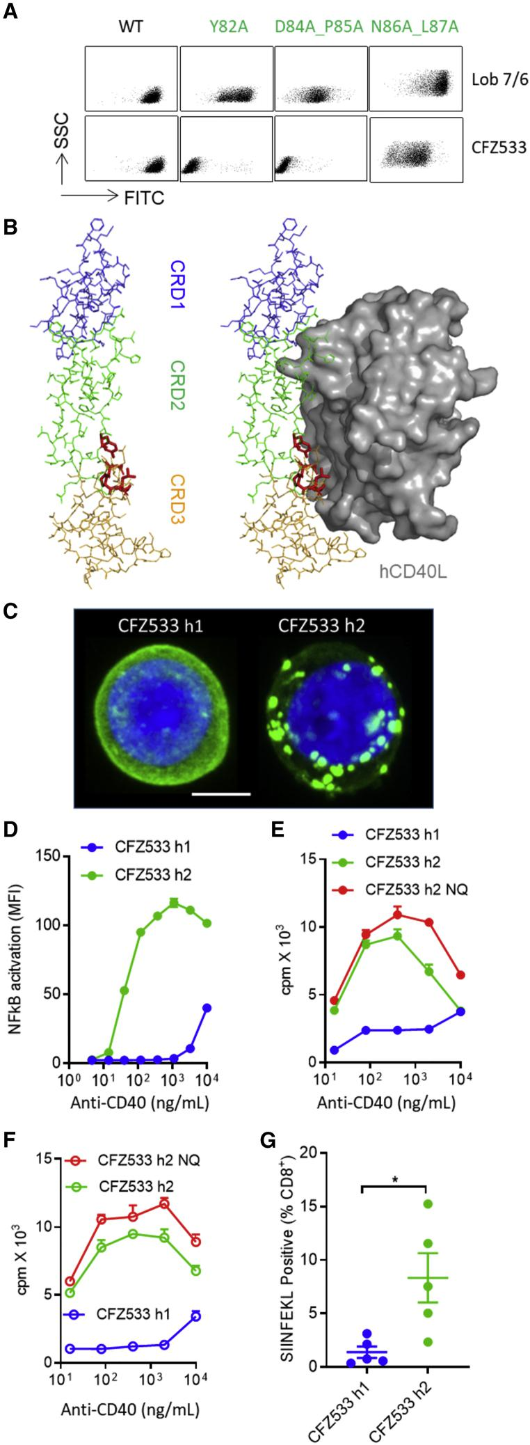 Antagonist CFZ533 Is Converted into an Agonist by Isotype Switching to hIgG2 (A) CHO-k1 cells expressing different hCD40 mutants were probed with anti-CD40 mAbs. Bound mAbs were detected by anti-mouse IgG-FITC. (B) Deduced epitope of CFZ533 is shown in red on a color-coded CD40 molecular scaffold (left) and displayed relative to the CD40/CD40L binding interface (right). The structure model is based on PDB: 3QD6 . (C) Jurkat cells stably transfected with human CD40EC-GFP were treated with 10 μg/mL CFZ533 h1 or CFZ533 h2 for 1 h at 37°C. Cells were then fixed, nuclear-stained using DAPI, and imaged using a Leica SP8 confocal microscope. z stack images shown. Blue, nucleus; green, human CD40-GFP. Scale bar, 4 μm. Image representative of at least ten images taken. (D) Jurkat NF-κB GFP reporter cells stably transfected with hCD40 were incubated with various concentrations of anti-CD40 mAbs for 8 h and the level of NF-κB activation was assessed by GFP expression using flow cytometry. Means ± SEM, n = 3, data representative of two experiments. (E) Purified splenic B cells from hCD40Tg mice were incubated with various concentrations of anti-CD40 mAbs for 4 days. Proliferation was measured by 3 H-thymidine incorporation. Means ± SEM, n = 3, data representative of three experiments. (F) Experiments the same as (E), splenic B cells from hCD40Tg/ Fcgr2b −/− mice were used. Means ± SEM, n = 3, data representative of three experiments. (G) 1 × 10 5 OTI cells were adoptively transferred into hCD40Tg mice 1 day before treatment with 100 μg anti-CD40 mAbs as indicated. Mice were bled on day 5 and SIINFEKL + cells were quantified as a percentage of total CD8 + T cells. Means ± SEM, n = 5, each dot represents one mouse, data representative of two experiments. Two-tailed, non-paired Student's t test, ∗ p