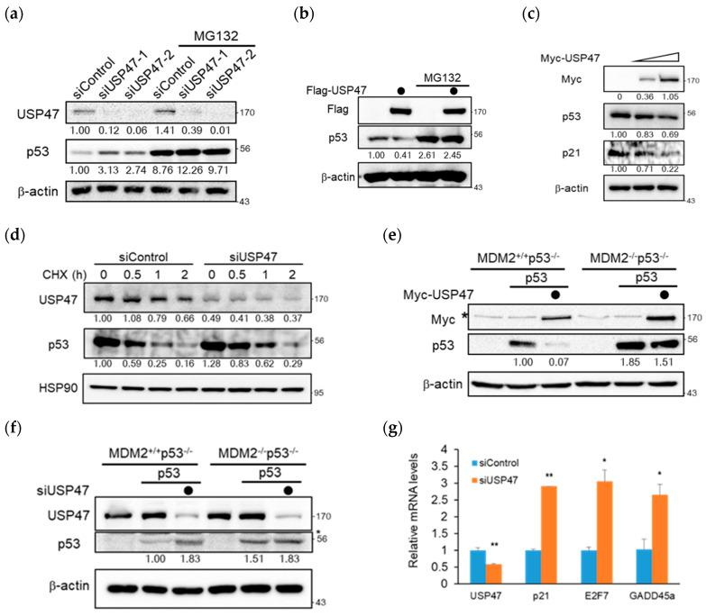 USP47 regulates p53 in an MDM2-dependent manner. ( a ) HeLa cells transfected with siRNA against control or USP47 were treated with either DMSO (control) or MG132 (10 μM) for 4 h. Cell lysates were immunoblotted with the indicated antibodies. β-actin was used as a loading control. The band intensity was measured by Image J and then normalized by β-actin. ( b ) U2OS cells overexpressed with Flag vector or Flag-USP47 were treated with either DMSO (control) or MG132 (10 μM) for 4 h. Cell lysates were immunoblotted with the indicated antibodies. ( c ) U2OS cells were overexpressed with increasing amounts of Myc-USP47 (0, 1, and 2 μg). After 24 h, cell lysates were immunoblotted with the indicated antibodies. ( d ) U2OS cells transfected with siRNA against control or USP47 were treated with 100 μg/mL cycloheximide and harvested at the indicated times. Cell lysates were immunoblotted with the indicated antibodies. HSP90 was used as a loading control. The band intensity was normalized by HSP90. ( e ) MDM2 +/+ p53 −/− and MDM2 −/− p53 −/− Mouse Embryonic Fibroblast (MEF) cell lines were co-overexpressed with p53, Myc-USP47, and then cell lysates were immunoblotted with the indicated antibodies. The non-specific band is denoted by an asterisk. ( f ) MDM2 +/+ p53 −/− and MDM2 −/− p53 −/− Mouse Embryonic Fibroblast (MEF) cell lines were overexpressed with p53 for 24 h and then transfected with siRNA against control or USP47 for 48 h. Cell lysates were immunoblotted with the indicated antibodies. The non-specific band is denoted by an asterisk. ( g ) The real-time PCR analysis of p53 downstream genes in A549 cells transfected with siRNA against control or USP47 for 48 h. Relative expression values are normalized against β-actin RNA levels, and graphs are shown as fold induction over control siRNA transfected cells. Data from three independent experiments represented by mean ± SD (* p