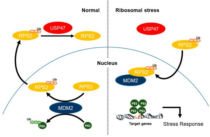 A schematic overview. Under normal conditions, USP47 deubiquitinates RPS2, and thus MDM2 inhibits p53 to maintain p53 protein levels. Under ribosomal stress, USP47 dissociates from RPS2, and thus ubiquitination of RPS2 is accumulated thereby inhibiting MDM2 to induce p53 protein levels for turning on the stress response signal.