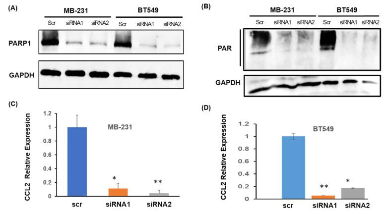 siRNA mediated PARP1 knockdown downregulates CCL2 transcription. ( A ) Western blot for Total PARP1. Knockdown efficiency with PARP1 RNAi is confirmed with two different PARP1 siRNAs in MB-231and BT549 cells. ( B ) Western blot showing the total PAR level in the two breast cancer cells with siRNA mediated PARP1 knockdown. GAPDH is shown as a loading control. ( C ) Relative expression of CCL2 mRNA upon siRNA mediated PARP1 knockdown in MB-231 and ( D ) BT549 cells (Right). For ( C ) and ( D ), RNA was harvested after 72 h post-transfection. siRNA knockdown was performed independently twice. Polymerase chain reaction (PCR) was performed twice in triplicates, data presented as ± S.E.M., * p