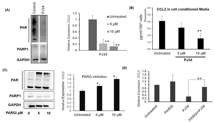 Modulating intracellular PAR levels affects CCL2 transcription. ( A ) PAR and PARP1 levels after overnight 10 µM PJ34 treatment in MB-231cells. Left: Western bolt showing PARP1 and PAR levels. Right: Relative CCL2 transcript levels after overnight PJ34 treatment in MB-231with PARP1 inhibitor PJ34. ( B ) Secreted CCL2 (pg/mL) in cell-conditioned media after PJ34 treatment. Serum-free cell-conditioned media was collected and subjected to CCL2 ELISA. CCL2 protein levels were normalized to 10 6 cells. ( C ) Left: PAR and PARP1 levels after overnight PARG inhibitor (PDD 00017273) treatment in MB-231 cells. Right: Relative expression of CCL2 mRNA after PARG inhibitor treatment. ( D ) Relative expression of CCL2 mRNA in the presence of PARG inhibitor, PARP1 inhibitor and the combination of the two at 5 µM and 10µM doses respectively, Data ± S.E.M. ** p