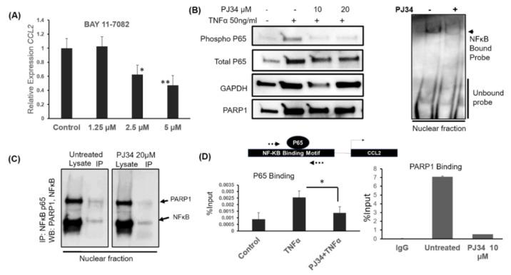 PARP1 and NFκB interaction is important for transcriptional control of CCL2 . ( A ) Quantitative real-time PCR for relative expression of CCL2 mRNA after NFκB p65 inhibitor Bay 11-7081 treatment in MB-231 cells. Cells were rhCCL2-treated at the indicated doses for 4 h. * p = 0.001, ** p = 0.0002, one way ANOVA and Tukey's comparison with untreated ( B ) Left: Western blot showed activation of NFκB pathway probed with an antibody against phosphorylated P65 S536. MB-231 cells were pretreated with PJ34 overnight, and TNFα was added for 45 min. Right: Electrophoretic mobility shift assay (EMSA) with p65 probe. The nuclear lysate was prepared from PJ34 treated or untreated cells, incubated with p65 specific biotinylated DNA probe. Bound and unbound probes were visualized using HRP-conjugated streptavidin chemiluminescence. ( C ) PARP1 and NFκB interact in MB-231cells. Immunoprecipitation was done with the P65 antibody using nuclear lysate. Lysate and IP fractions were western blotted and probed with PARP1 and P65 specific antibodies. ( D ) Chromatin IP with PARP1 and P65 specific antibody. Fixed chromatin was immunoprecipitated with the antibody, as mentioned earlier, after overnight treatment with 10 µM PJ34. We performed PCR on a region flanking an NFκB binding motif at the CCL2 promoter (Dotted arrows showing the approximate location of the primers). Percent of input shows enrichment. Average of two independent experiments shown. t -test * p