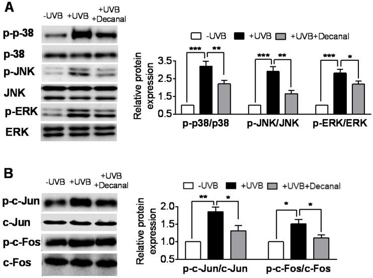 The effect of decanal on the UVB-induced mitogen-activated protein kinase (MAPK) pathway in Hs68 dermal fibroblasts. Hs68 cells were treated with either decanal or the vehicle and exposed to UVB. ( A ) Phosphorylation of MAPK proteins (p38, c-Jun N-terminal kinase (JNK) and extracellular-signal-regulated kinase (ERK)) and ( B ) c-Jun and c-Fos (MAPK downstream molecules) were determined. Data are shown as the mean ± SEM ( n = 3). Significant differences are indicated as * p