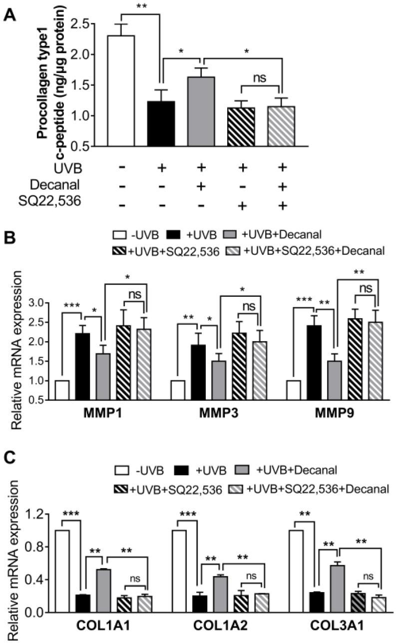 The effect of decanal on collagen synthesis via the cAMP pathway. Hs68 cells were treated with decanal or the vehicle and exposed to UVB. The SQ22536 or the vehicle was pretreated for 1 h before the decanal treatment. ( A ) Collagen contents; ( B ) mRNA expression of matrix metalloproteinase ( MMP) 1, MMP3 and MMP9 ; and ( C ) mRNA expression of collagen type I alpha 1 chain ( COL1A1 ), COL1A2 and COL3A1 were analyzed. The final procollagen type I level was normalized to the total cellular protein content. Data are shown as the mean ± SEM ( n = 3). Significant differences are indicated as * p