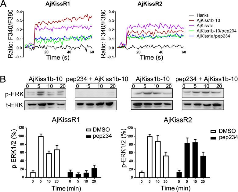 Inhibitory effect of pep234 on AjKissR1 and AjKissR2 activation. ( A ) Intracellular Ca 2+ mobilization in AjKissR1- and AjKissR2-expressing HEK293 cells was measured in response to 100 nM AjKiss1a or AjKiss1b-10 pre-treated with DMSO or the KISS1 antagonist pep234 (1.0 μM). ( B ) ERK1/2 phosphorylation activity of kisspeptins and the inhibitory effect of pep234 in AjKissR1- and AjKissR2-expressing HEK293 cells. Samples were measured after 2 hr of ligand administration with or without pep234 pre-treatment. Error bars represent SEM for three independent experiments. Immunoblots were quantified using a Bio-Rad Quantity One Imaging system. All data shown are representative of at least three independent experiments.