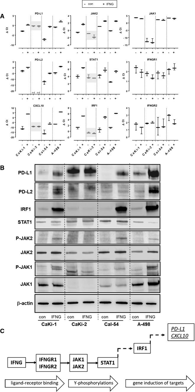 Regulation of PD-L1 and components of the IFN-γ-signalling cascade in ccRCC cell lines (CaKi-1, A-498), pRCC cell line (CaKi-2) and Cal-54 RCC cell line. a Levels of mRNA (∆Ct) for PD-L1, PD-L2, CXCL10, JAK2, STAT1, IRF1, JAK1, IFN-γR1, IFN-γR2 in control cells (−con) and cells treated with IFN-γ (10 ng/ml) for 24 h (+IFN-γ) are shown. Transcripts that were not inducible by IFN-γ in CaKi-2 cells, in contrast to the other cell lines, are gray-shaded. Box plots indicate means with error bars corresponding to minimum and maximum values ( n = 3). b Western-blot analysis of control cells (con) or cells treated with IFN-γ (10 ng/ml) for 24 h with antibodies for PD-L1, p-JAK2, JAK2, p-JAK1, JAK1, IRF1, and cytoplasmic β-actin. The molecular weights are: PD-L1, ~ 50kd; PD-L2, ~ 50 kd; phosphate (P)-JAK2, 125 kd; JAK2, ~ 125 kd; phosphate (P)-JAK1, 130 kd; JAK1, ~ 130 kd; IRF1, ~ 48 kd; STAT1, ~ 90 kd; β-actin, ~ 43kd. c Schematic diagram of analyzed components of the IFN-γ-signaling cascade. nd below detection level, IFNG IFN-γ, Y tyrosine residue