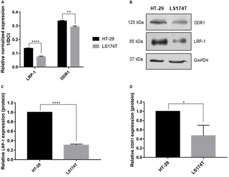 Molecular characterization of colorectal carcinoma cell lines. (A) Transcriptional level of LRP-1 and DDR1 were assessed using RTqPCR. LRP-1 and DDR1 mRNA expression levels in HT-29 (black boxes) and LS174T (gray boxes) were normalized with both RPL32 and RS18 mRNA expression. (B) Whole cell extracts from HT-29 and LS174T cells were analyzed by SDS PAGE followed by western blotting using anti-DDR1, anti-LRP-1 and anti-GAPDH antibodies. Graphical representations of LRP-1 (C) and DDR1 (D) expression at protein level as normalized with GAPDH. All experiments were performed in three biological replicates. Plots are presented as the mean SD, ** p