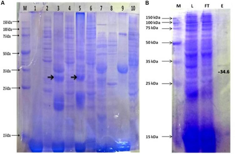 (A) Protein expression profile of APrBL. M: 15–150 KD, Lane 1: Preinduced soluble fraction of Escherichia coli BL21 (DE3) harboring recombinant APrBL-pET28a, Lane 2: Preinduced insoluble fraction of E. coli BL21 (DE3) harboring recombinant APrBL-pET28a, Lane 3: Soluble fraction of E. coli BL21 (DE3) harboring recombinant APrBL-pET28a induced with 0.2 mM IPTG, Lane 4: Insoluble fraction of E. coli BL21 (DE3) harboring recombinant APrBL-pET28a induced with 0.2 mM IPTG, Lane 5: Soluble fraction of E. coli BL21 (DE3) harboring recombinant APrBL-pET28a induced with 1 mM IPTG, Lane 6: Insoluble fraction of E. coli BL21 (DE3) harboring recombinant APrBL-pET28a induced with 1 mM IPTG, Lane 7: Soluble fraction of E. coli BL21 (DE3), Lane 8: Insoluble fraction of E. coli BL21 (DE3), Lane 9: Uninduced soluble fraction of E. coli BL21 (DE3) harboring recombinant APrBL-pET28a, Lane 10: Uninduced insoluble fraction of E. coli BL21 (DE3) harboring recombinant APrBL-pET28a. (B) Protein purification using Ni-NTA column after expression of the protein in pET28a, 28°C, 0.2 mM IPTG. M: 15–150 KD, L: Soluble fraction of E. coli BL21 (DE3) harboring recombinant APrBL-pET28a induced with 0.2 mM IPTG, FT: Flow through from the column, E: Column elution in 250 mM imidazole.