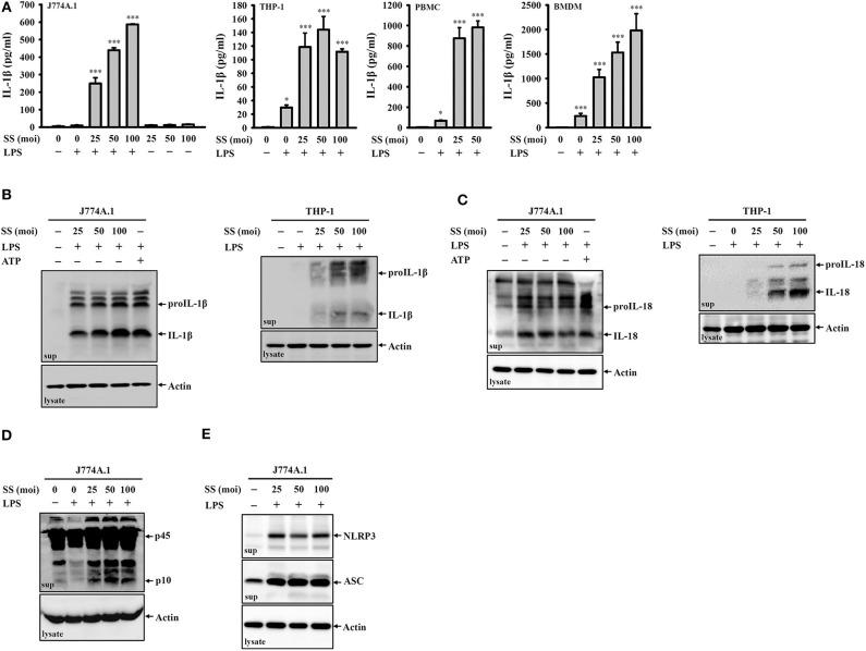 S. sonnei induces the secretion of IL-1β, IL-18, NLRP3, ASC, and active caspase-1 in macrophages. (A) J774A.1 macrophages, THP-1 macrophages, PBMCs or BMDM were primed with 1 μg/ml LPS for 4 h and then infected with S. sonnei for an additional 20 h. The levels of IL-1β in the supernatants were measured by ELISA. (B–E) J774A.1 macrophages or THP-1 macrophages were primed with 1 μg/ml LPS for 4 h followed and then infected with S. sonnei for an additional 20 h or stimulated with 5 mM ATP for an additional 0.5 h. The levels of IL-1β (B) , IL-18 (C) , caspase-1 (D) , NLRP3, and ASC (E) in the supernatants were measured by Western blotting. The ELISA data are expressed as the mean ± SD of four separate experiments. The Western blotting results are representative of three different experiments. * and *** indicate significant differences at the levels of p