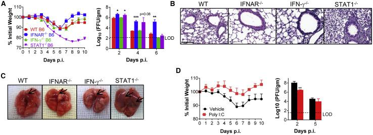 The Role for IFN and STAT1 Signaling in SARS-CoV-2 Infection (A) 5 days after transduction with 2.5 × 10 8 FFU of Ad5-hACE2, C57BL/6 mice were intranasally infected with 1 × 10 5 PFU of SARS-CoV-2. Weight changes were monitored daily (n = 5 mice per group), and virus titers in the lungs were measured at the indicated time points using FFA (n = 3–4 mice per group per time point). Titers are expressed as FFU/g tissue. (B) Sections of paraffin embedded lungs from SARS-CoV-2-infected Ad5-hACE2-transduced, wild-type and genetically modified C57BL/6 mice at 4 d.p.i. were stained with hematoxylin/eosin. Scale bar, 100 μm. (C) Photographs of gross pathological lung specimens isolated from infected C57BL/6 mice at 4 d.p.i. Arrowheads indicate regions with vascular congestion and hemorrhage. (D) Ad5-hACE2-transduced C57BL/6 mice were treated with 80 μg of poly I:C in 50 μL of PBS 6 h before intranasal infection with SARS-CoV-2. Weight changes were monitored daily, and viral titers in lungs were measured at the indicated time points. ∗ p values ≤ 0.05; ∗∗ p values ≤ 0.005; ∗∗∗ p values ≤ 0.0005; ∗∗∗∗ p values ≤ 0.0001.