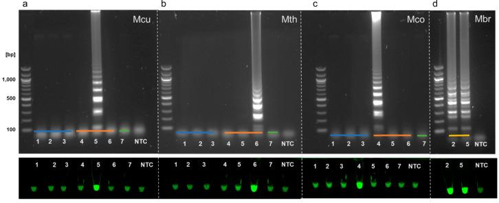 LAMP assay outputs comparing agarose gel electrophoresis (top of panels) and Sybr Green I end-point detection (bottom of panels). Specific F3/B3 primers and genomic DNA from ( a )  Methanoculleus , ( b )  Methanothermobacter , ( c )  Methanococcus,  and ( d )  Methanobrevibacter  were used in assays performed with either Bst 3.0 ( a , c , d ) or Bst 2.0 ( b ). Bacterial DNA (blue line) originated from  Escherichia coli  (lane 1),  Staphylococcus epidermidis  (lane 2), and  Bacillus  sp. 3PL (lane 3). Archaeal DNA (orange line) originated from  Methanococcus maripaludis  (lane 4),  Methanoculleus marisnigri  (lane 5), and  Methanothermobacter thermoautotrophicus  (lane 6), eukaryotic DNA was extracted from wheat root rhizobiome (green line, lane 7). For ( d ), eDNA extracted from two  Methanobrevibacter  positive (see  Figure 2 ) stool samples was used as a template (yellow line). A non-template control (NTC) was included in all assays.