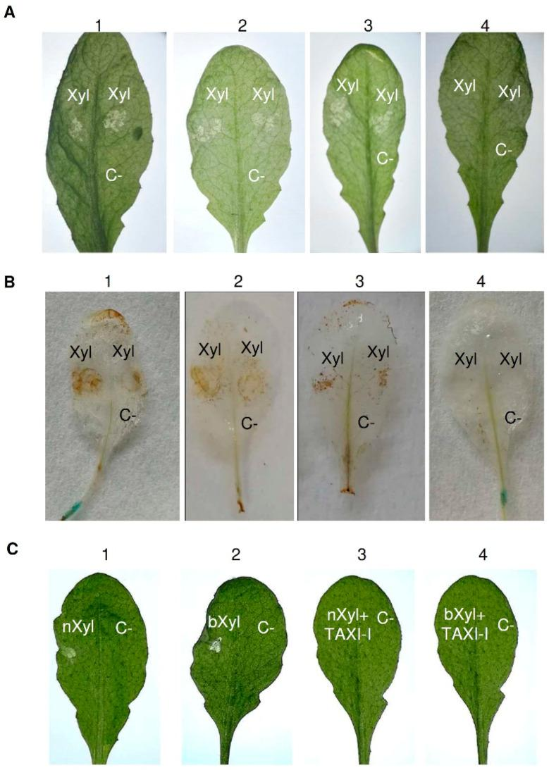 Analysis of necrosis and H 2 O 2 production induced by BcXyn11a xylanase in Arabidopsis thaliana tissues and capacity of TAXI-I to limit the BcXyn11a effect in transgenic TAXI-I and wild-type A. thaliana (Col-0) leaves. ( A ) Necrotizing activity of BcXyn11a (Xyl) in infiltrated A. thaliana leaves of (1) pBI:GUS; (2) TAXI-I line 1; (3) TAXI-I line 2; (4) TAXI-I line 3 transgenic lines. ( B ) H 2 O 2 induction by BcXyn11a xylanase in A. thaliana TAXI-I and pBI:GUS transgenic lines. Leaves were infiltrated with the BcXyn11a xylanase (Xyl) and treated with diaminobenzidine to reveal H 2 O 2 accumulation. Samples: (1) pBI:GUS; (2) TAXI-I line 1; (3) TAXI-I line 2; (4) TAXI-I line 3. ( C ) Necrotizing activity of BcXyn11a assayed by droplet application method on wild-type Arabidopsis leaves using 70 ng of BcXyn11a (Xyl) alone or in combination with one µg of purified TAXI-I. Samples: (1) native BcXyn11a (nXyl); (2) boiled BcXyn11a (bXyl); (3) native BcXyn11a (nXyl) co-incubated with TAXI-I; (4) boiled BcXyn11a (bXyl) co-incubated with TAXI-I. In all experiments, acetate buffer 25 mM pH 5.2 (BcXyn11a buffer) was used as the negative control (C-). Xyl and C- indicates the infiltration and inoculation points. Pictures were taken three days after inoculation.