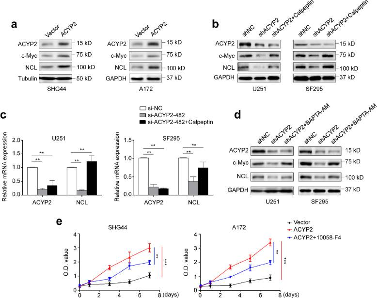 Transcriptional activation of c-Myc by ACYP2 in glioma cells through regulating intracellular Ca 2+ homeostasis and calpain activity. a , Western blot analysis was carried out to determine the effect of ectopic expression of ACYP2 in SHG44 and A172 cells on the levels of transcriptionally active c-Myc and its downstream target NCL. Tubulin and GAPDH were used as loading controls. Cells transfected with the indicated shRNAs were treated with the vehicle or 10 μM calpeptin for 10 h. b , Western blot analysis was performed to evaluate their effect on protein expression of c-Myc and its target NCL. c , qRT-PCR assay was used to evaluate their effect on mRNA levels of ACYP2 and NCL . GAPDH was used as a loading control in western blot analysis. 18S rRNA was used as a reference gene in qRT-PCR assay. d , Cells transfected with the indicated shRNAs were treated with the vehicle or 5 μM BAPTA-AM for 6 h. Western blot analysis was then performed to investigate their effect on the expression of c-Myc and its downstream target NCL. GAPDH was used as a loading control. e , The indicated cells were treated with the vehicle or 100 μM 10,058-F4 for 48 h, and the MTT assay was then used to evaluate their effect on cell proliferation. The data were presented as mean ± SD ( n = 3). **, P