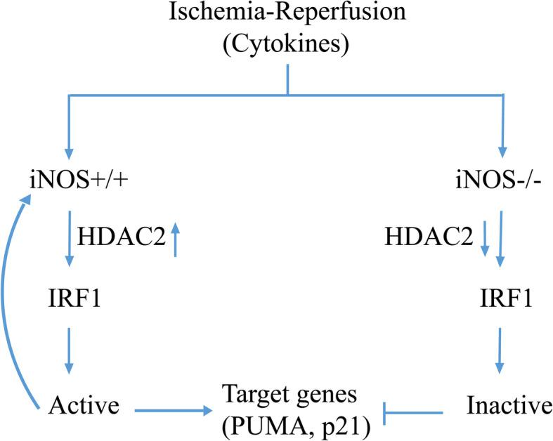 Schematic of the proposed model of iNOS/NO-mediated IRF1 activation in response to hepatic I/R in mice. Ischemia and reperfusion induces iNOS/NO, which activates IRF1 transcriptional activities. This process requires iNOS/NO induced HDAC2 activation to catalyze deacetylation of histone H3. On the other hand, iNOS gene deficiency decreases IRF1 and HDAC2 activities. The activated IRF1 as a transcription factor is translocated into the nucleus, where it regulates transcription of the target genes associated with cell death and cell cycle repression such as, iNOS, PUMA and p21. A positive feedback loop between IRF1 and iNOS may lead to IRF1 continuatively activated. Inhibition of HDAC2 by its inhibitor leads to an increase in histone H3 acetylation, and a decrease in IRF1 nuclear translocation and its target gene expressions (see Results and Discussion). I/R induced IRF1 activation requires iNOS/NO, which recruits HDAC2 as a co-activator to mediate chromatin modification