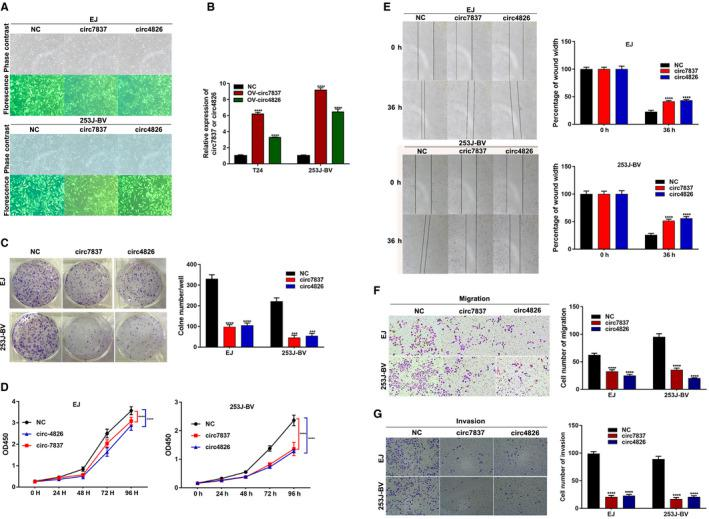 Both circ_0077837 and circ_0004826 exerted a tumor suppressive effect in BC cells. A, Transgene expression in EJ and 253J‐BV bladder cancer cell lines transduced with lentiviral vectors. Upper panels show phase contrast photomicrograph and lower panels show GFP fluorescence of the same field. B, Overexpression of circ_0077837 and circ_0004826 was confirmed via qRT‐PCR in BC cell lines EJ and 253J‐BV. C, Cell colony formation numbers were counted after transfection with OV‐NC, OV‐circ_7837, or OV‐circ_4826. D, <t>CCK‐8</t> assays were utilized to detect cell proliferation ability in EJ and 253J‐BV cells transfected with OV‐NC, OV‐circ_7837, or OV‐circ_4826. E and F, The migration potential of EJ and 253J‐BV cells transfected with the OV‐circ_7837 or OV‐circ_4826 than that treated with OV‐NC was damaged by the wound healing assay at 36 h after scratch and transwell migration assay (without Matrigel) at 36 h after incubation. G, Overexpression of OV‐circ_7837 or OV‐circ_4826 all impaired the invasive capacity of EJ and 253J‐BV cells as detected by transwell Matrigel invasion assay. Data are presented as means ± SD; n = 3. SD: standard deviation. OV‐: Overexpression; NC, empty vector; Circ‐7837, hsa_circ_0077837; Circ‐4826, hsa_circ_0004826; CCK‐8: cell counting kit‐8; OD: optical density. * P