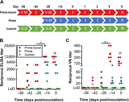 Vaccination of rhesus macaques with ChAdOx1 MERS elicits a humoral immune response. Serum samples were collected from NHPs at times of vaccination (−56 and −28 DPI), 14 days later, and at challenge. ( A ) Overview of experimental timeline. V-M, vaccination with ChAdOx1 MERS; V-G, vaccination with ChAdOx1 GFP; E, exam; C, challenge and exam; N, exam and necropsy. ( B ) Twofold serial diluted serum samples were tested for MERS-CoV S–specific antibodies using enzyme-linked immunosorbent assay (ELISA). ( C ) Twofold serial diluted serum samples were tested for neutralizing antibodies against MERS-CoV in VeroE6 cells. Line, geometric mean; dotted line, limit of detection (LoD). Statistical significance between −28 and −14 DPI in the prime-boost group was determined via one-tailed paired Student's t test. Statistical significance between prime-boost and prime-only groups on 0 DPI was determined via two-tailed unpaired Student's t test. ** P