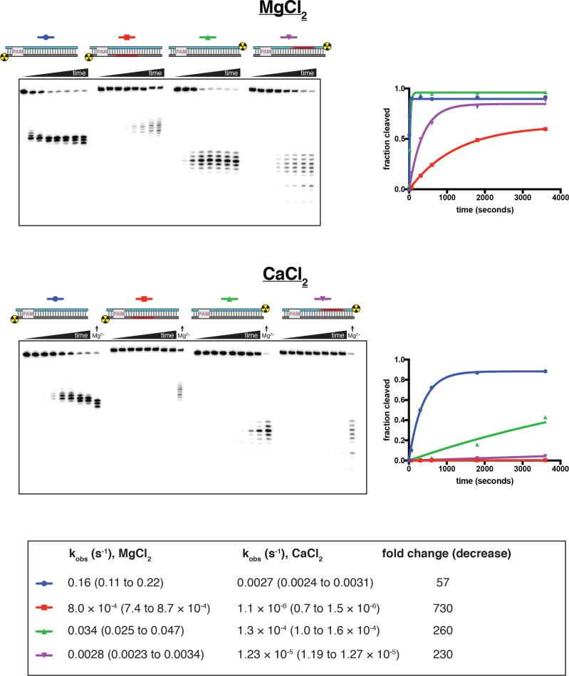 Cleavage at phosphorothioates can be selectively slowed by substitution of CaCl 2 for MgCl 2 . 100 nM AsCas12a and 120 nM crRNA were incubated with 1 nM radiolabeled duplex DNA target at 37°C, followed by quenching (at timepoints 0, 5 s, 15 s, 1 min, 5 min, 10 min, 30 min, 1 hr) and resolution by denaturing PAGE. Substrate diagrams are colored as in Appendix 2—figure 2—figure supplement 1 . The top panel shows the experiment done in cleavage buffer with 5 mM MgCl 2 . The bottom panel shows the experiment done in cleavage buffer with 5 mM CaCl 2 —at the end of each time course on this gel, the 1-hr timepoint of the MgCl 2 experiment is included for visual comparison. 'Fraction cleaved' is defined as (sum of the volume of all bands below the uncleaved band)/(total volume in lane). Data were fit to an exponential decay (y = (y 0 -plateau)*exp(-k*x)+plateau), with y 0 constrained to 0. The plateau value was constrained to 1 for those time courses that did not exceed fraction cleaved = 0.5 by the 1-hr timepoint. Rate constants (with 95% confidence intervals) are shown in the table below the gels. It is unclear why cleavage of a phosphorothioated TS occurs more rapidly than cleavage of a phosphorothioated NTS, although it is conceivable that this is an intrinsic feature of the enzyme cleavage pathway when the chemical transformation is rate-limiting. Considering only effects on the NTS, the calcium substitution decreases the phosphodiester cleavage rate by a factor of 57 and decreases the phosphorothioate cleavage rate by a factor of 730, resulting in a 13-fold increase in selectivity for phosphodiesters over phosphorothioates and yielding kinetics slow enough to resolve by manual pipetting.