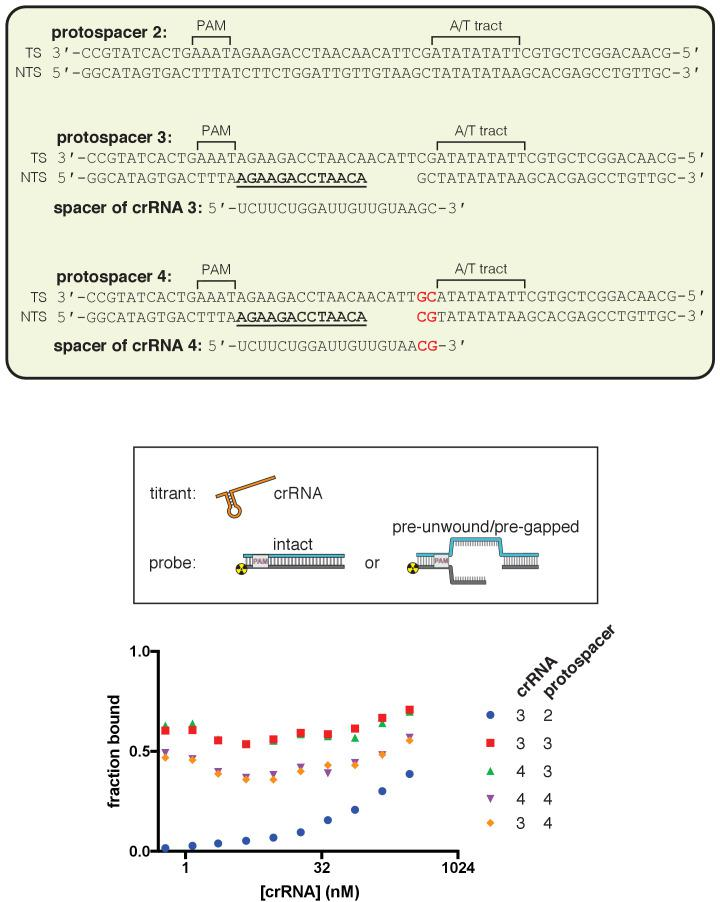 dCas12a ribonucleoprotein binds tightly to pre-gapped/pre-unwound targets despite PAM-distal mismatches. The affinity of dAsCas12a/crRNA for various cognate DNA targets was assessed by a filter-binding assay. 'Pre-gapped' indicates the presence of a 5-nt gap in the non-target strand (see Appendix 2). 'Pre-unwound' indicates the presence of a stretch of NTS:TS mismatches in the DNA substrate. In Figure 3A , protospacer 3 is annotated as 'DNA substrate 1;' protospacer 4 is annotated as 'DNA substrate 2;' and crRNA 3 is the depicted crRNA. For each combination of crRNA/DNA target, crRNA was titrated in a solution with fixed [dAsCas12a] (400 nM), [DNA probe] (100 pM), and [non-specific DNA competitor] (500 nM). The identities of the titrant/fixed component were inverted in this experiment (as compared to all other binding experiments) because crRNA can form a stable complex with pre-unwound DNA targets in the absence of protein. Keeping [dAsCas12a] at 400 nM favored the formation of (dAsCas12a/crRNA):DNA complexes over crRNA:DNA complexes (which would be indistinguishable from free DNA in the filter binding assay). In the presence of high [apo protein], 500 nM non-specific DNA competitor (a duplex with a short ssDNA overhang) was also included to disfavor non-specific interactions between radiolabeled DNA and apo protein. The value of 'fraction bound' was 0 at [crRNA]=0 for all substrates (not shown due to the logarithmic x-axis). For all pre-unwound DNA targets, the fraction bound was essentially concentration-independent across all nonzero concentrations tested, suggesting that the lowest concentration tested had already saturated the specific binding interaction being probed. The high stability is in line with thermodynamic expectations for an interaction involving hybridization of two complementary 18-nt or 20-nt oligonucleotides (T m > 40°C) ( Kibbe, 2007 ). The fact that the saturated bound fraction is less than 1 could be due to (1) a common feature of filter-bin
