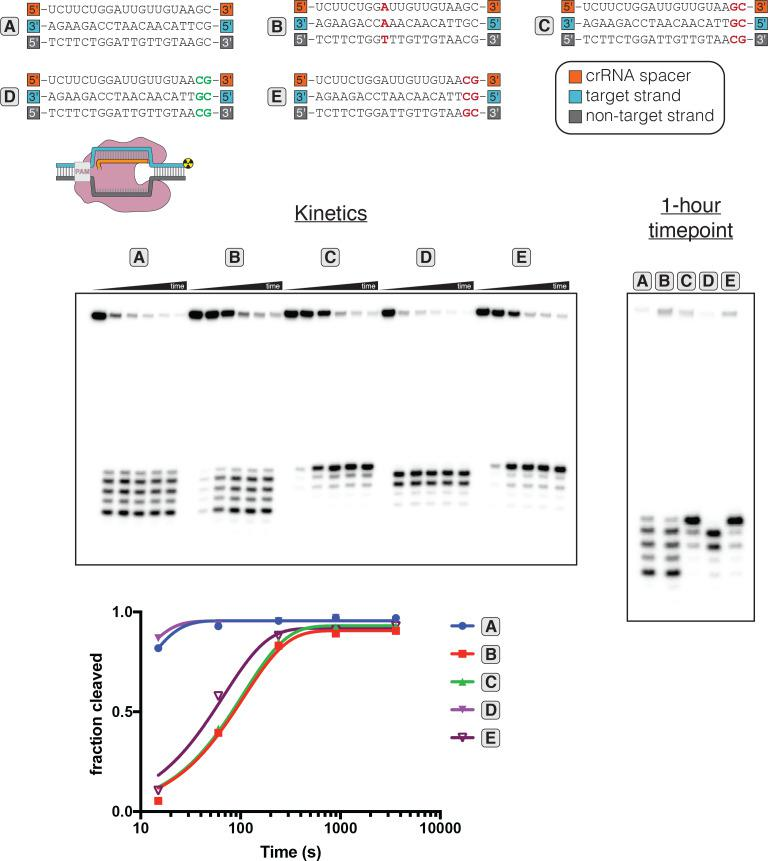 Determinants of altered target-strand cleavage kinetics and position. 100 nM AsCas12a and 120 nM crRNA were incubated with 1 nM duplex DNA target radiolabeled on the 5' end of the target strand at 37°C for 0 s, 15 s, 1 min, 4 min, 15 min, or 1 hr, prior to quenching and resolution by denaturing PAGE. The 20-nt target sequence immediately adjacent to the PAM is shown below the crRNA spacer sequence used in each experiment. Red letters indicate TS:crRNA mismatches. Green letters indicate compensatory changes in the crRNA to restore a 20-nt match. The final timepoint of each reaction is reproduced in the gel on the right, for side-by-side comparison of the cleavage site distributions. 'Fraction cleaved' is defined as (sum of the volume of all bands below the uncleaved band)/(total volume in lane). Data were fit to an exponential decay (y = (y 0 -plateau)*exp(-k*x)+plateau), with y 0 constrained to 0 and the plateau value constrained to ≤1. A representative replicate is shown. The value of k obs for each time course is as follows: A (0.12 s −1 ), B (0.0093 s −1 ), C (0.0094 s −1 ), D (0.16 s −1 ), E (0.015 s −1 ). The precise value of k obs for A and D should be interpreted with caution due to poor sampling of informative timepoints.