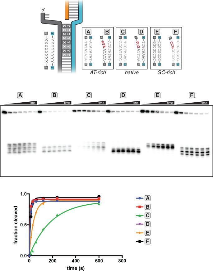 Kinetics of target-strand cleavage in DNA targets with various sequences in the R-loop flank. Experiment performed as described in legend to Figure 3C . 100 nM AsCas12a and 120 nM crRNA were incubated with 1 nM of DNA target at 25°C for 0 s, 15 s, 30 s, 1 min, 2 min, 4 min, or 10 min, prior to quenching and resolution by denaturing PAGE. All DNA targets were 5'-radiolabeled on the TS. The NTS was pre-gapped from positions 14–18 but complementary to the TS at positions 1–13 and 19–20. In each lane, the DNA target was varied to contain different sequences in the R-loop flank, which either formed a perfect duplex (substrates A, C, and E) or contained a 3-bp NTS:TS mismatch (substrates B, D, and F). 'Fraction cleaved' is defined as (sum of the volume of all bands below the uncleaved band)/(total volume in lane). Data were fit to an exponential decay (y=(y 0 -plateau)*exp(-k*x)+plateau), with y 0 constrained to 0. A representative replicate (n = 3) is shown. The value of k obs ± SD for each time course is as follows: A [0.092 ± 0.012 s −1 ], B [0.145 ± 0.007 s −1 ], C [0.0059 ± 0.0006 s −1 ], D [0.137 ± 0.002 s −1 ], E [0.024 ± 0.002 s −1 ], F [0.061 ± 0.013 s −1 ]. The rate constants for B and D should be interpreted with caution due to poor sampling of informative timepoints.