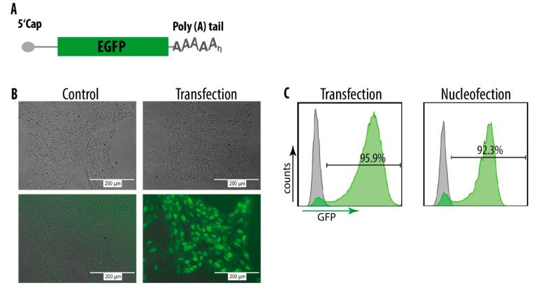 mRNA delivery into hiPS cells. ( A ) Schematic illustration of EGFP mRNA. ( B ) Fluorescent microscopy images of hiPS cells 24h post transfection with EGFP mRNA in the DEF-CS culture system with <t>Lipofectamine</t> <t>MessengerMAX</t> TM transfection reagent. The upper panels show brightfield images and the lower panels show fluorescent recordings. ( C ) FACS profiles of hiPS cells 24h post transfection or nucleofection with EGFP mRNA. Grey = control cells (non-transfected).