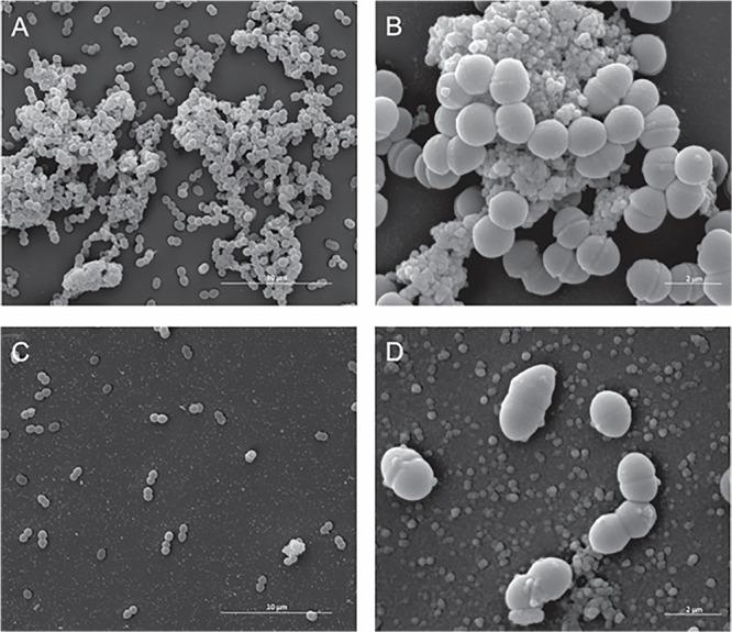 Effect of the antibiotic activity of Fluopsin C on the ultra-structural of the Gram-positive bacteria Enterococcus <t>faecium</t> strain ATCC 6569. Scanning electron microscopy: (A,B) control (non-treated) – (A) 8,000× and (B) (40,000×); (C,D) cells treated with Fluopsin C – (C) (8,000×) and (D) (40,000×).