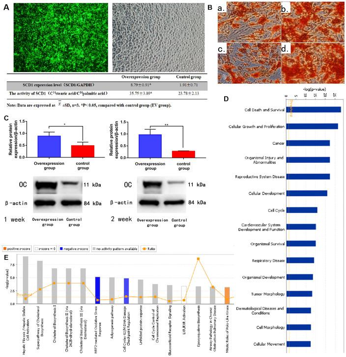 SCD1 overexpression promotes osteogenic differentiation and induces expression changes in BM-MSCs. ( A ) Fluorescence staining showed the transfection of BM-MSCs with SCD1 lentivirus. Comparison results of SCD1 expression and activity between the SCD1 overexpression and control groups were showed in the table beneath. Data are expressed as means ± standard deviations ( n = 6). * P