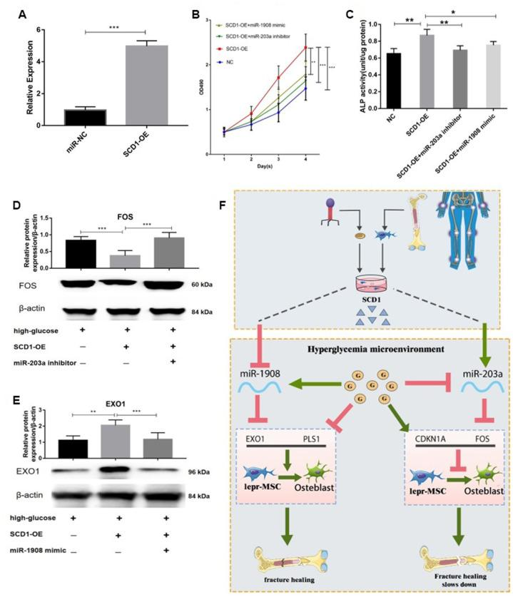miR-203a/FOS and miR-1908/EXO1 are regulated by SCD1. ( A ) Transfection efficiency of SCD1 in BM-MSCs. ( B ) Proliferation of BM-MSCs after SCD1 overexpression, miR-1908mimic and miR-203a inhibitor were evaluated. ( C ) ALP activity was measured in SCD1-overexpressing BM-MSCs treated with miR-203a inhibitor or miR-1908 mimic. ( D , E ) Expressions of FOS and EXO1 were assessed in BM-MSCs transfected with high-glucose, SCD-OE miR-1908 mimic and miR-203a inhibitor. ( F ) The regulatory network between dysregulated miRNAs and hub genes after overexpression SCD-1.