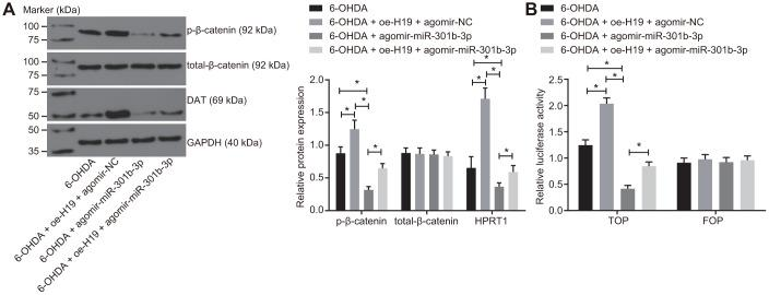 Overexpressed H19 activates the Wnt/β-catenin signaling pathway by inhibiting miR-301b-3p. N27 dopaminergic neurons exposed to 6-OHDA were treated with agomir-miR-301b-3p alone or in the presence of oe-H19. ( A ) The protein expression of total-β-catenin and HPRT1 as well as the extent of β-catenin phosphorylation in the N27 dopaminergic neurons detected by western blot assay. ( B ) The activity of the Wnt/β-catenin signaling pathway expressed by TOP/FOP ratio in the N27 dopaminergic neurons. *, p