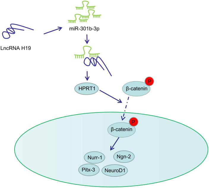 Schematic representation of H19 in regulating dopaminergic neuron loss in PD. H19 upregulates the expression of HPRT1 by binding to miR-301b-3p. Overexpression of HPRT1 could activate the Wnt/β-catenin signaling pathway, thus promoting the mRNA expression of Nurr-1, Pitx-3, Ngn-2 and NeuroD1 in the substantia nigra tissues, which ultimately rescues the dopaminergic neuron loss in this 6-OHDA-induced PD mouse model.