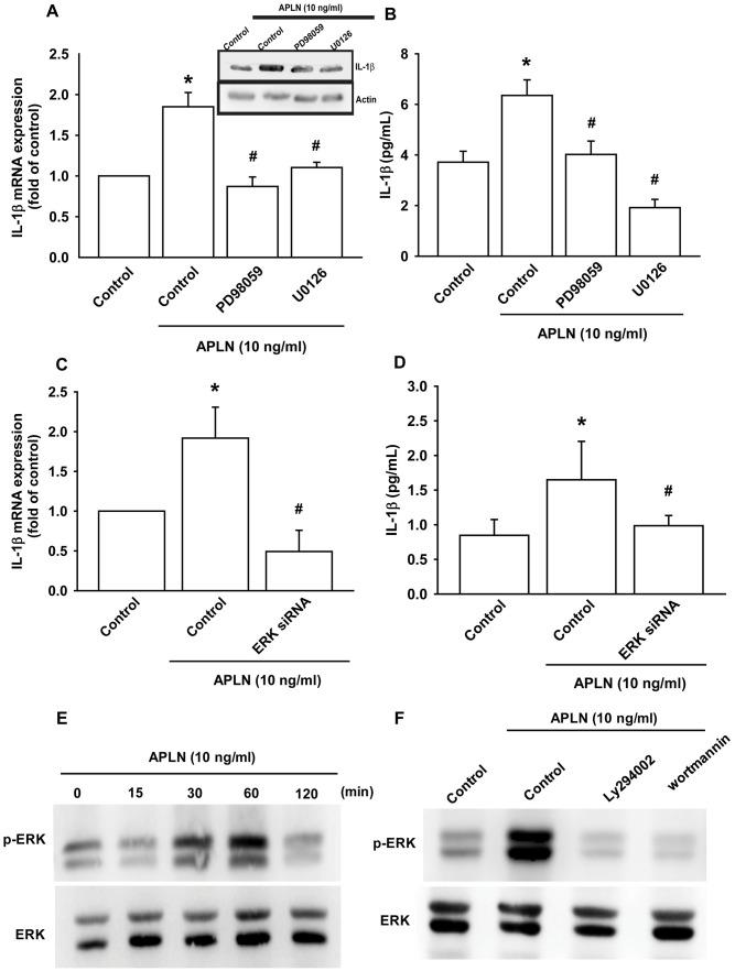 ERK phosphorylation is involved in APLN-induced IL-1β synthesis. ( A ) OASFs were pretreated with ERK inhibitors (PD98059, U0126; 10 μM) for 30 min, then incubated with APLN (10 ng/mL) for 24 h. IL-1β mRNA and protein levels were examined by RT-qPCR (n=4) and Western blot (n=3) assays, respectively. ( B ) OASFs were pretreated with ERK inhibitors (PD98059, U0126; 10 μM) for 30 min, then incubated with APLN (10 ng/mL) for 24 h. Excreted IL-1β protein levels were examined by ELISA (n=5). ( C ) OASFs were transfected with ERK siRNA (1 μg), then incubated with APLN (10 ng/mL) for 24 h. IL-1β mRNA levels were examined by ELISA assay (n=5). ( D ) OASFs were transfected with ERK siRNA (1 μg), then incubated with APLN (10 ng/mL) for 24 h. Excreted IL-1β protein levels were examined by ELISA assay (n=5). ( E ) OASFs were incubated with APLN (10 ng/mL) for the indicated time intervals, and the extent of ERK phosphorylation was examined by Western blot (n=3). ( F ) OASFs were pretreated with LY294002 and Wortmannin (10 μM) for 30 min, then incubated with APLN (10 ng/mL) for 24 h. The extent of ERK phosphorylation was examined by Western blot (n=3). * p