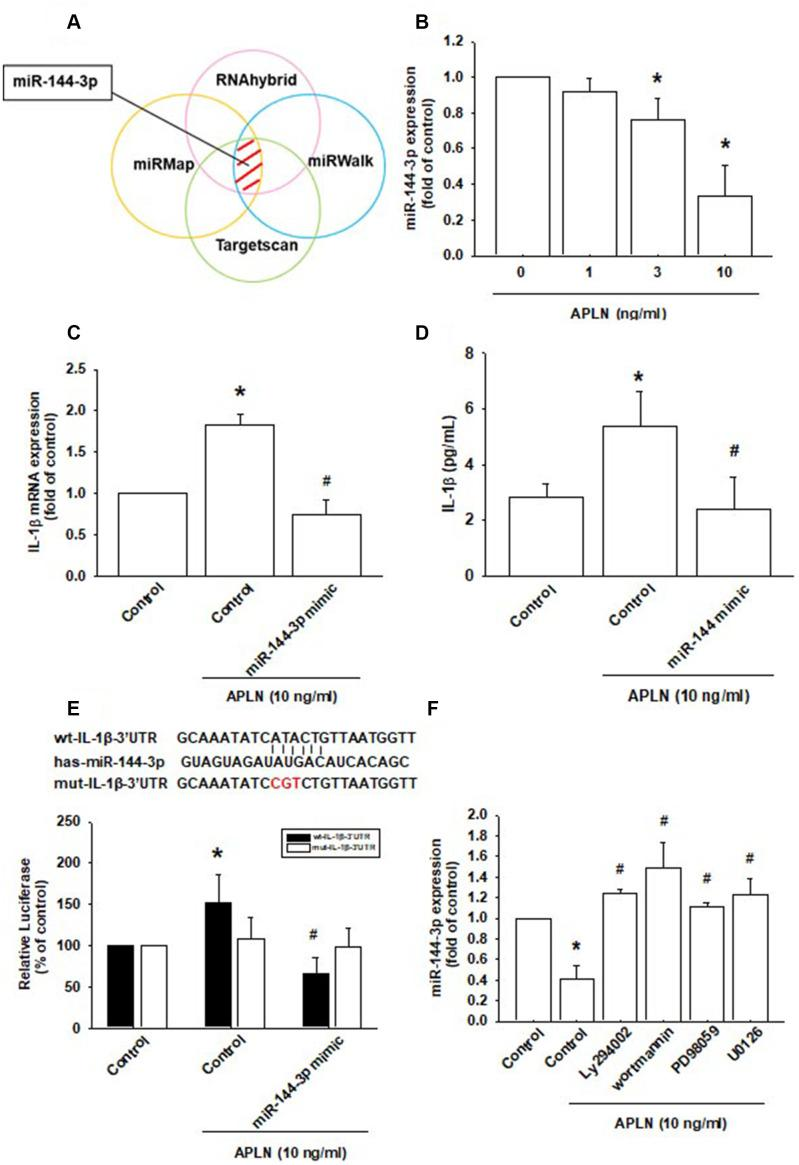APLN-induced suppression of miRNA-144-3p enhances IL-1β production. ( A ) Open-source software (TargetScan, miRMap, RNAhybrid, and miRWalk) was used to identify which miRNAs could possibly interfere with IL-1β transcription. ( B ) OASFs were incubated with APLN (0, 1, 3, and 10 ng/mL). Levels of miR-144-3p expression were examined by RT-qPCR assay (n=4). ( C , D ) OASFs were transfected with miR-144-3p mimic and then stimulated with APLN (10 ng/mL). mRNA and excreted protein levels were examined by RT-qPCR (n=4) and ELISA assays (n=5). ( E ) OASFs were transfected with the mut-IL-1β-3′UTR plasmid with or without miRNA-144-3p mimic, then stimulated with APLN (10 ng/mL). Relative luciferase activity reflected IL-1β promoter activity (n=6). ( F ) OASFs were treated with PI3K or ERK inhibitor then incubated with APLN. miR-144-3p expression levels were examined by RT-qPCR assay (n=4). Results are expressed as the mean ± S.E.M. * p