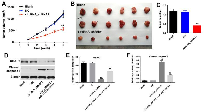 Knockdown of hsa_circ_0003141 inhibits tumorigenesis of Huh-7 subcutaneous xenografts in vivo . Mice were s.c. implanted with hsa_circ_0003141-shRNA1-transfected Huh-7 cells. ( A ) Xenograft tumor volume monitored weekly. ( B , C ) Xenografts tumors were photographed and calculated. ( D ) Expression of UBAP2 and cleaved caspase 3 in tumor tissues analyzed by western blotting. ( E , F ) The relative expression of UBAP2 and cleaved caspase 3 in tumor tissues normalized to β-actin. **P