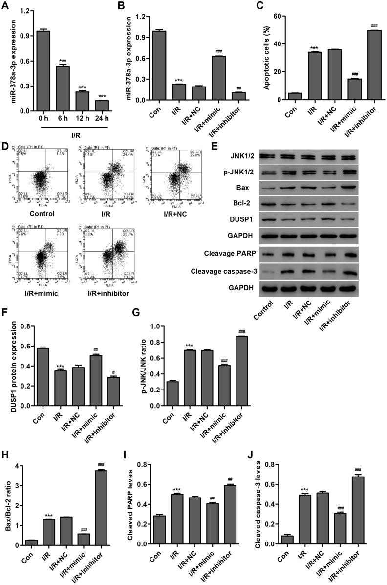 miR-378a-3p is upregulated in I/R-induced H9C2 cardiomyocytes and inhibits cell apoptosis. ( A ) miR-378a-3p expression was measured by Real-time PCR in H9C2 cardiomyocytes following 3 h ischemia and 6, 12 or 24 h reperfusion. H9C2 cardiomyocytes following 3 h ischemia and 24 h reperfusion were transfected with a miR-378a-3p mimic, inhibitor or negative control (NC) and those without I/R injury were used as a control. ( B ) miR-378a-3p expression, ( C , D ) cell apoptosis, and ( E – J ) protein expression of DUSP1, p-JNK1/2, JNK1/2, cleaved PARP and caspase-3, Bax, and Bcl-2 were measured. *** P