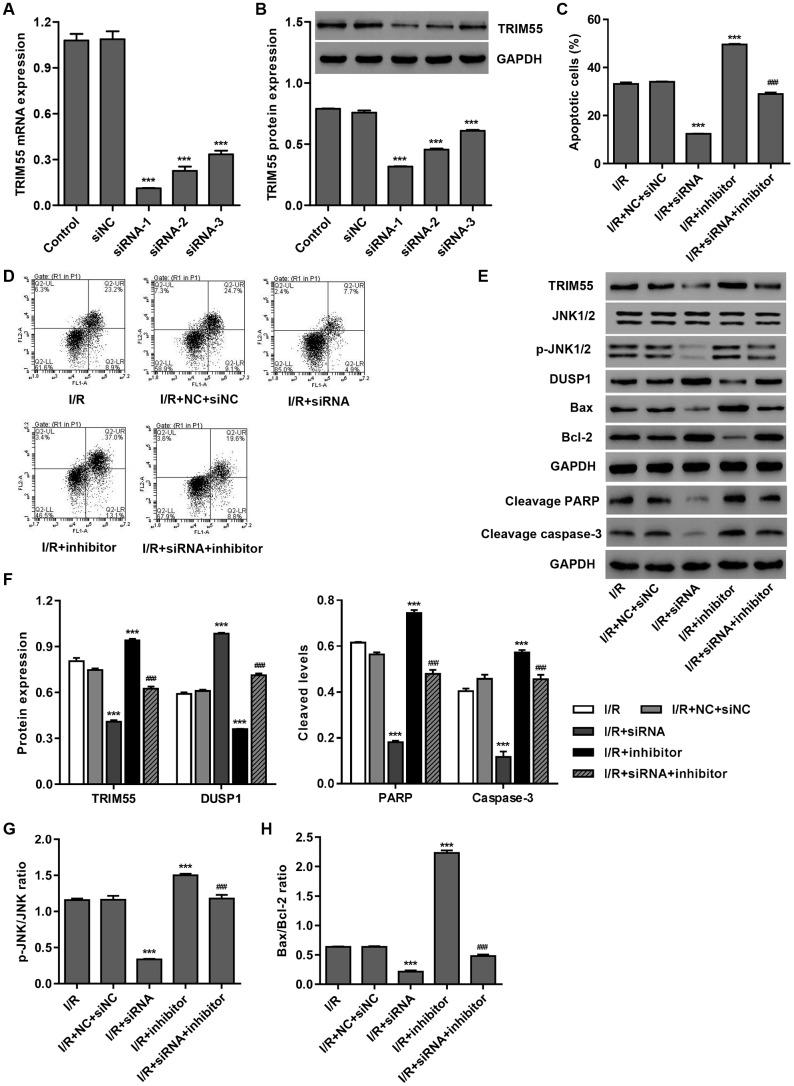 TRIM55 silencing inhibits I/R- and miR-378a-3p inhibitor-induced apoptosis of H9C2 cardiomyocytes. H9C2 cardiomyocytes were transfected with three TRIM55-siRNAs (siRNA-1, siRNA-2, siRNA-3) or scramble siRNA (siNC). ( A , B ) TRIM55 expression was measured. H9C2 cardiomyocytes following I/R injury were transfected with the TRIM55-siRNA and/or miR-378a-3p inhibitor. ( C , D ) Cell apoptosis was measured by flow cytometry. ( E – H ) Expression of TRIM55, DUSP1, JNK1/2, cleaved PARP and caspase-3, Bax, and Bcl-2 was measured. *** P
