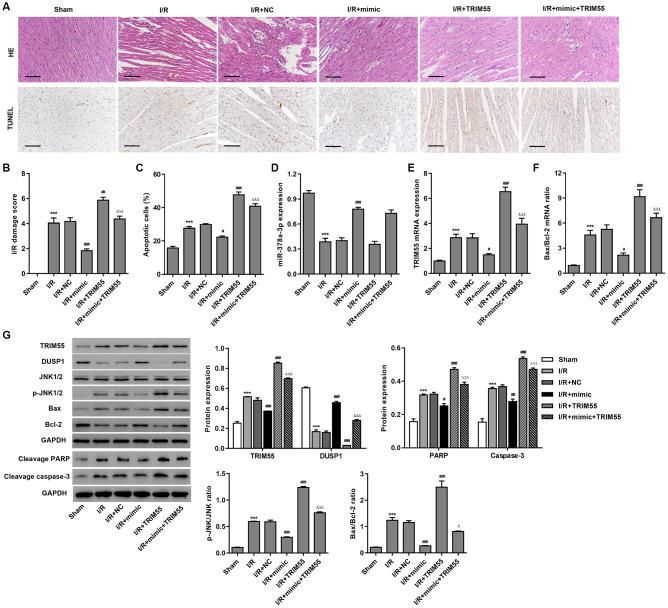 The miR-378a-3p mimic inhibits I/R-induced apoptosis in rats. Myocardial I/R model rats were injected with 50 mg/kg of the miR-378a-3p mimic or negative control (NC) 24 h before LCA ligation. ( A – C ) Histological assessment of the myocardium was performed by H E staining and TUNEL. Scale bar: 100 μm. ( D – F ) The expression of miR-378a-3p, TRIM55, Bax, and Bcl-2 was measured by real-time PCR. ( G ) The expression of TRIM55, DUSP1, p-JNK1/2, JNK1/2, cleavage of PARP and caspase-3, Bax, and Bcl-2 was measured by western blotting. *** P