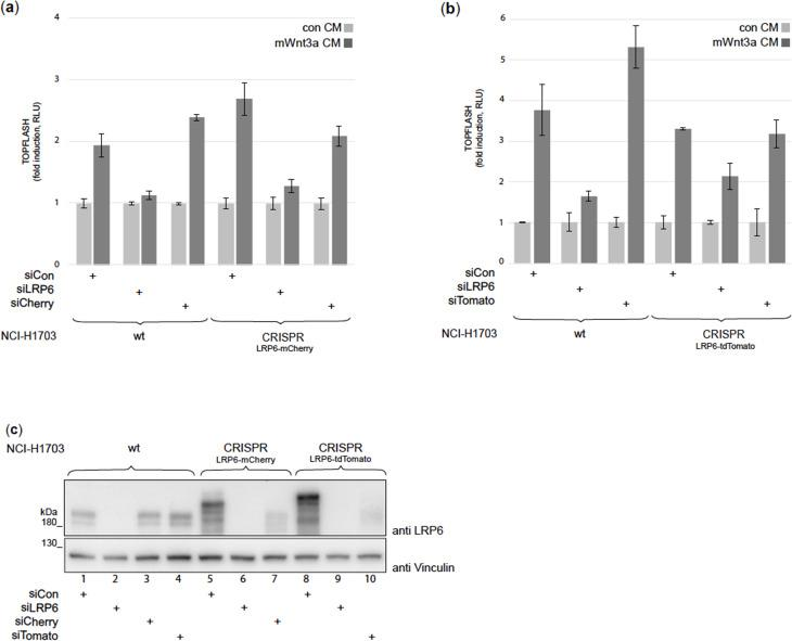 siRNA-mediated knockdown to characterize CRISPR/Cas9 edited NCI-H1703 cells. ( a, b ) TOPFLASH Wnt reporter assays showing the effect of siRNA-mediated silencing of all LRP6 receptors (siLRP6) or only the endogenously tagged LRP6 receptors (siCherry/siTomato). CRISPR/Cas9 edited NCI-H1703 cells expressing endogenously-tagged LRP6-mCherry ( a ) and LRP6-tdTomato ( b ) as well as wt cells ( a and b ) were co-transfected in 96-well format with 3.3 pmol siRNA (targeting either LRP6, mCherry or tdTomato) and 25/5 ng TOPFLASH/Renilla reporters. 18 hr post-transfection, cells were treated overnight with control or Wnt3a CM before harvesting cell lysates for luciferase assays. For each treatment, luciferase values were set to one for the control samples in order to compare Wnt responsiveness between cell lines. As expected, knockdown of all LRP6 receptors with siLRP6 resulted in a strong reduction of the Wnt-induced TOPFLASH signal, although the LRP6-tdTomato CRISPR cell line displayed a somewhat weaker reduction. For specific knockdown of the endogenously tagged LRP6-mCherry species using siCherry, the degree of Wnt activation was significantly reduced when compared to the effect of siCherry on the corresponding wt cells. This partial reduction confirms that LRP6-mCherry contributes to Wnt signaling activity seen in these cells but that siRNA resistant, non-tagged LRP6 remains. Similarly, for LRP6-tdTomato silencing using siTomato, a significantly reduced Wnt activation was observed when compared to the effect of siTomato on wt cells. These results confirm that LRP6-mCherry and LRP6-tdTomato are active in Wnt reception, and, in agreement with our sequencing results of the CRISPR/Cas9 cell lines, that both cell lines are heterozygous, such that only one of the LRP6 alleles has been endogenously tagged. ( c ) Western blot analysis of LRP6, LRP6-mCherry and LRP6-tdTomato from wt and CRISPR/Cas9 edited NCI-H1703 cell lines after the indicated siRNA transfections. Cells were tr