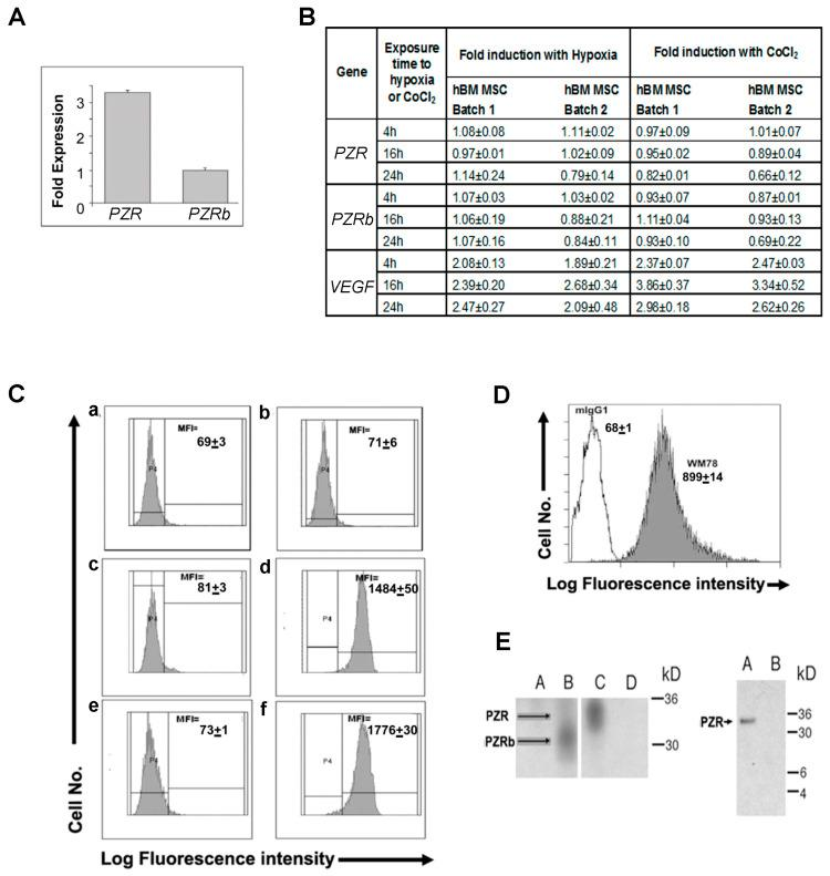 Differential human P 0 -related protein (PZR) and PZRb expression on hBM MSCs. ( A ) Q-RT-PCR of PZR and PZRb using 3 different hBM MSC batches (mean ± S.E.M.) and human PZR and PZRb primers and probes described in Section 2.5 . ( B ) Q-RT-PCR of PZR , PZRb , and the positive control VEGF transcripts in two independent batches of hBM MSC in normoxia (20% O 2 ) with or without 150 μM CoCl 2 or hypoxia (1.5% O 2 ) for 4, 16, and 24 h. Values are means ± S.E.M. of triplicate assays. ( C ) Flow cytometric histograms of human PZR and PZRb protein expression after mIgG1 (panels a , c , and e ) or WM78 (panels b , d , and f ) staining of MEF cells either untransfected ( a , b ) or expressing hPZR ( c , d ) or hPZRb ( e , f ) plus Alexa-488 goat anti-mouse IgG1 antibody. P2 is the gate set against the isotype control. The median fluorescence intensity (MFI) of cells in the positive gate is shown on each histogram. Values above are means ± S.E.M. for triplicate assays. ( D ) Representative FACS histogram of hBM MSCs staining with WM78 compared to the mIgG1 negative control stained as above. MFIs are means ± S.E.M. of three independent experiments using three different batches of hBM MSCs. ( E ) Immunoprecipitation of human PZR isoforms using WM78. Left. Biotinylated MEF cells expressing human PZRb (lanes A and B ) and human PZR (lanes C and D ) were immunoprecipitated with the mIgG1 (lanes A and D ) or WM78 (lanes B and C ) and then Western blotted using streptavidin-HRP. Right. Immunoprecipitation of human PZR isoforms from surface biotinylated hBM MSCs (lane A ) with WM78 or mIgG1 prior to electrophoresis and Western blotting using HRP-streptavidin.