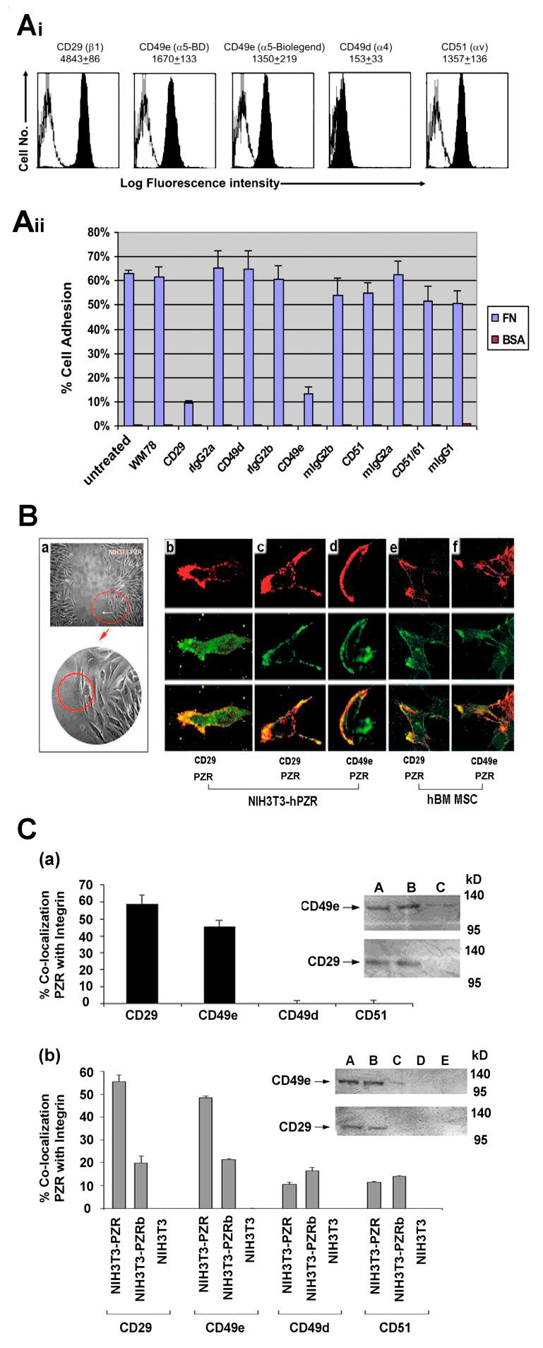 Co-localization of PZR and integrins on migrating NIH3T3 transfectants and hBM MSCs. ( Ai ) Representative FACS histograms of hBM MSCs stained for CD29 (β1 integrin), CD49e (α5 integrin), CD49d (α4 integrin), CD51 (vitronectin receptor), or the relevant isotype control (mIgG1) followed by Alexa-488 goat anti-mIgG1. MFI ± S.E.M. shown above histograms ( n = 3 independent experiments). Black histograms: integrin staining; white histograms: mIgG1 negative control. ( Aii ) hBM MSCs were untreated or incubated with blocking antibodies against CD29, CD49e, CD49d, CD51, and CD51/61 or the corresponding isotype controls before being allowed to adhere to fibronectin (FN) or the negative control, BSA. Values are means ± S.E.M. for three independent experiments performed in triplicate. ( B ) Migration assay using NIH3T3-hPZR ( a ) with one area analyzed by confocal microscopy circled in red. ( b,c ) NIH3T3-PZR transfectants from the 6 h migratory interface double stained with WM78 (PZR; green stain) and biotin-CD29 (red stain) or ( d ) biotin-CD49e (red stain) plus appropriate secondary fluorescent reagents. hBM MSCs from the 6 h migratory interface double stained with WM78 and Alexa488 goat anti mIgG1 (PZR; green stain), then blocked with mIgG1 and stained with biotinylated ( e ) CD29 (red stain) or ( f ) CD49e (red stain) with streptavidin-conjugated Alexa 546. There is a co-association of PZR with α5 (CD49e) or β1 (CD29) at the leading edge of the migrating cell. C ( a ) Quantitation of PZR co-localizing with CD29 and CD49e or CD49d and CD51 in 6 h migrating hBM MSCs. Values are means ± S.E.M. for three independent experiments performed in triplicate. Inset shows co-immuno-precipitation and Western blotting with respective the anti-PZR WM78 mAb and biotin conjugated anti-human CD49e or CD29, and using mIgG1 as the negative control for the immunoprecipitation (i.p.). Lane A: hBM MSC cell lysate, lane B: hBM MSC i.p with anti-PZR, lane C: hBM MSC i.p. with negative control. C