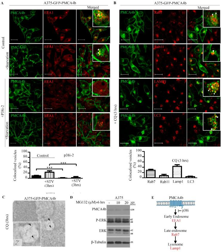 P38 inhibitor abolished GFP-PMCA4b internalization in A375 cells, and chloroquine (CQ) trapped the pump in LAMP1 positive intracellular organelles. ( A ) Confocal microscopy images of A375-GFP-PMCA4b cells after treatment with 10 µM p38i-2 inhibitor (SB202190) for 48 h with or without starvation (3 h). The cells were immunostained for the early endosomal marker EEA1. EEA1 and GFP-PMCA4b positive (yellow) vesicles were counted (six cells/group) and expressed as % of total number of GFP-PMCA4b positive vesicles. Scale bar, 20 µm. Bars represent means ± SE. ( B ) Confocal images of A375-GFP-PMCA4b immunostained with the endo-lysosomal markers Rab7, Rab11 and LAMP1, and the autophagy marker LC3 after treatment with CQ for 3 h. The number of GFP-PMCA4b vesicles that co-localize with the endo-lysosomal or autophagy markers were counted and expressed as a % of total number of PMCA4b positive vesicles. Seven to nine cells were counted in each group. Scale bar, 20 µm. Bars represent means ± SE. ( A , B ) Insets show higher magnification view, Scale bar, 10 µM. Arrowheads show co-localization of GFP-PMCA4b with endosomal markers. ( C ) A375-GFP-PMCA4b cells were cultured and treated with CQ for 3 h. Cells were fixed and immunostained with anti-GFP antibody (1:100) (Invitrogen, 1972783). Images were taken by <t>JEM-1011</t> transmission electron microscope (Jeol). Arrowheads show positive PMCA4b protein ( D ) A375 cells were treated with the proteasome inhibitor MG132 for 6 h at the concentrations indicated. Protein expression was analyzed by Western blotting. The experiment was repeated three times. ( E ) Schematic diagram shows the pathway of PMCA4b degradation through the endo-lysosomal system.