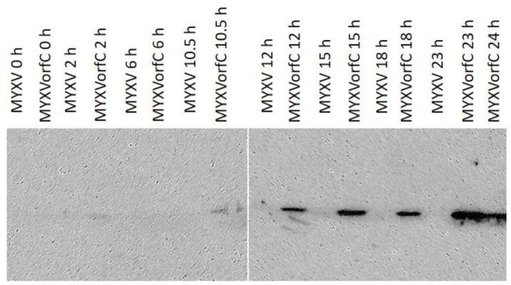 Western <t>immunoblot.</t> Hemagglutinin-tagged orfC was detected in RK-13 cell lysates by 12 hpi (moi = 0.5). Data were repeatable ( n = 3).