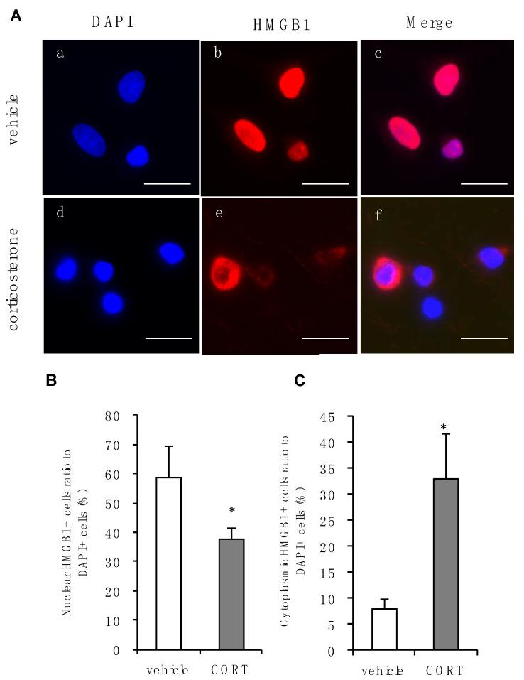 Effects of corticosterone on intracellular localization of HMGB1 in primary cultured cortical astrocytes. ( A ) Immunocytochemistry of HMGB1 in rat primary cultured cortical astrocytes. Corticosterone-treated cells (CORT; 1 μM, 24 h) exhibited subcellular HMGB1 expression compared with vehicle. Images a, b and c, or d, e and f, are from the same fields, respectively. Scale bar = 20 μm. ( B ) The percentage of nuclear staining of HMGB1 to total DAPI positive cells decreased after corticosterone treatment. The data are expressed as the mean ± SEM. * p