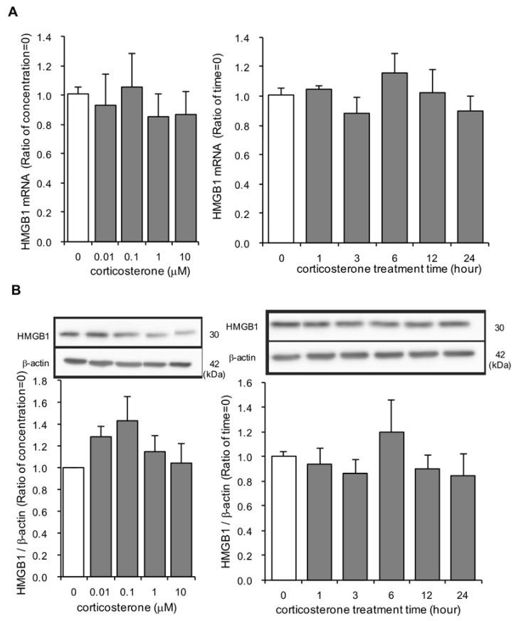 The effect of corticosterone on HMGB1 mRNA and intracellular HMGB1 protein expression in primary cultured cortical astrocytes. ( A ) Astrocytes were treated with 1 μM corticosterone for the indicated periods of time or the indicated concentrations of corticosterone for 24 h. HMGB1 mRNA expression (ratio of HMGB1 mRNA: GAPDH mRNA) was quantified by real time PCR. The data are expressed as the mean ± SEM. ( n = 3–5). ( B ) Astrocytes were treated with 1 μM corticosterone for the indicated periods of time or the indicated concentrations of corticosterone for 24 h. HMGB1 protein was quantified by Western blotting, and representative blots are shown (HMGB1: 30 kDa, β-actin: 42 kDa). The data are expressed as the mean ± SEM. ( n = 3–5).
