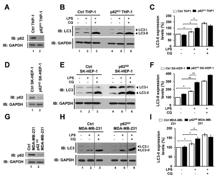 p62-deficient cells, p62 KD THP-1, p62 KD SK-HEP-1, and p62 KD MDA-MB-231 cells, exhibit enhanced autophagy activation in response to TLR4 stimulation. ( A ) p62 KD THP-1 cells were generated, and the knockdown efficacy of p62 was confirmed with anti-p62 antibody. ( B , C ) Ctrl and p62 KD THP-1 cells were treated with or without vehicle or CQ (10 μM), in the presence or absence of LPS (10 μg/mL), for 6 h. Whole cell lysates were immunoblotted with anti-LC3A/B antibody and anti-GAPDH antibody as a loading control ( B ). The LC3II levels were analyzed with Image J program ( C ). Data shown are averages from a minimum of 3 independent experiments (± SEM). *, p